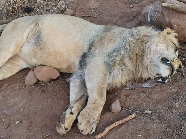 Reward offered for information after five lions were poisoned and parts hacked off at park in South Africa