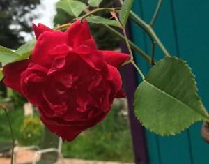 Rosa serratipetala