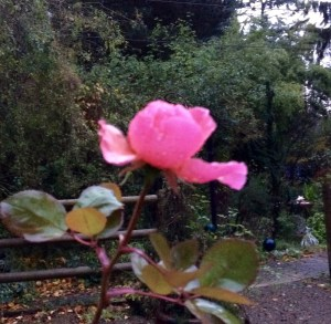 Your Thanksgiving Rose
