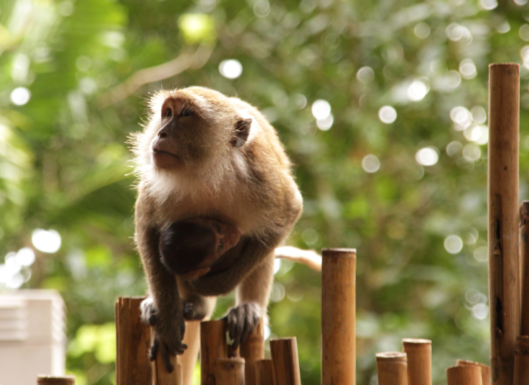 Thaise apen