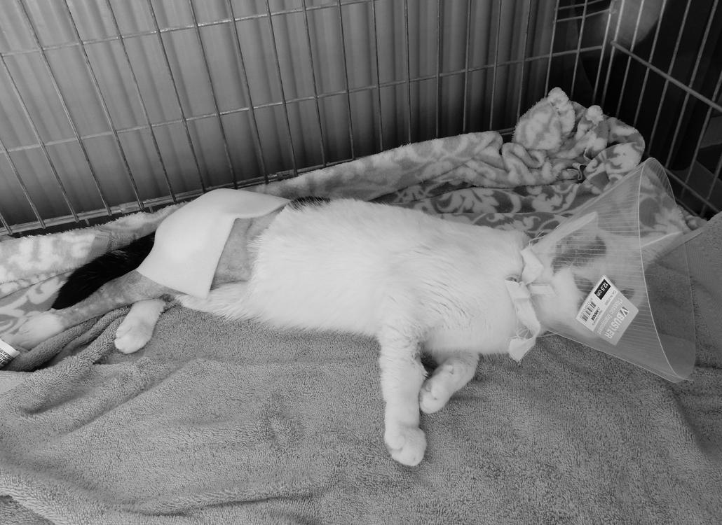Jip maine coone dierenleed aanrijden aanrijding doorrijden auto been gebroken heup gebroken lifestyle by linda