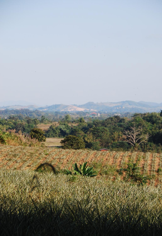 ananasplantage Chiang Rai