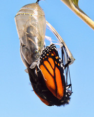 life transitions, feng shui wisdom, photo of monarch butterfly emerging from crysallis