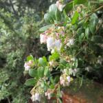 Arctostaphylos cruzensis - La cruz manzanita