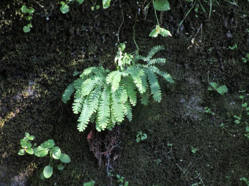 Adiantum aleuticum - Five finger fern