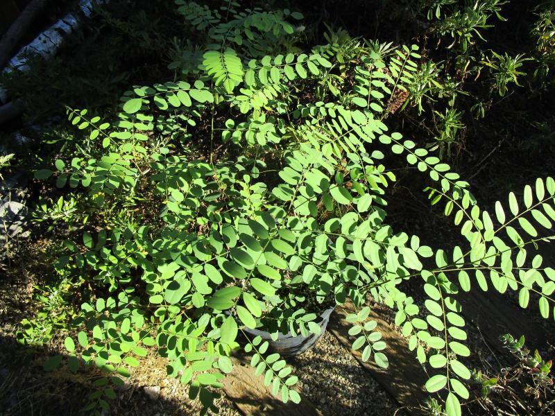 Amorpha fruticosa - Western false indigo