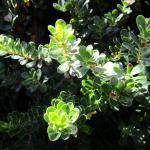 Arctostaphylos uva-ursi Point Reyes - 'Point Reyes' Bearberry