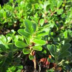 Arctostaphylos uva-ursi Wood's compact - 'Wood's compact' Bearberry