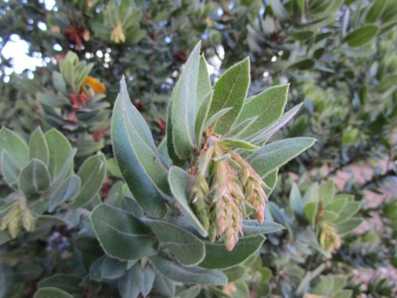 Arctostaphylos regismontana - King's Mountain manzanita