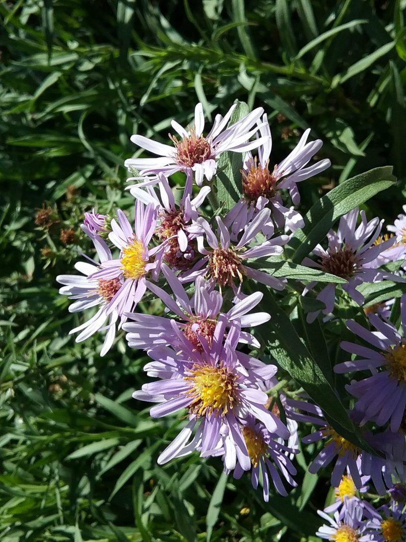 Symphyotrichum chilensis 'Purple haze' - 'Puple haze' California aster