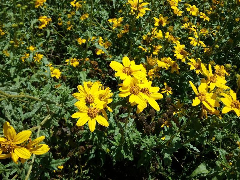 Bahiopsis laciniata - San Diego County Viguiera