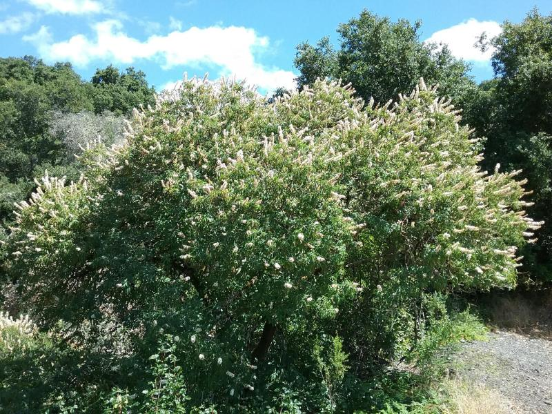 Aesculus californica - California buckeye