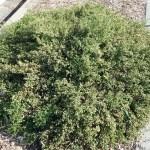 Baccharis pilularis Twin Peaks - 'Twin Peaks' Dwarf coyote bush
