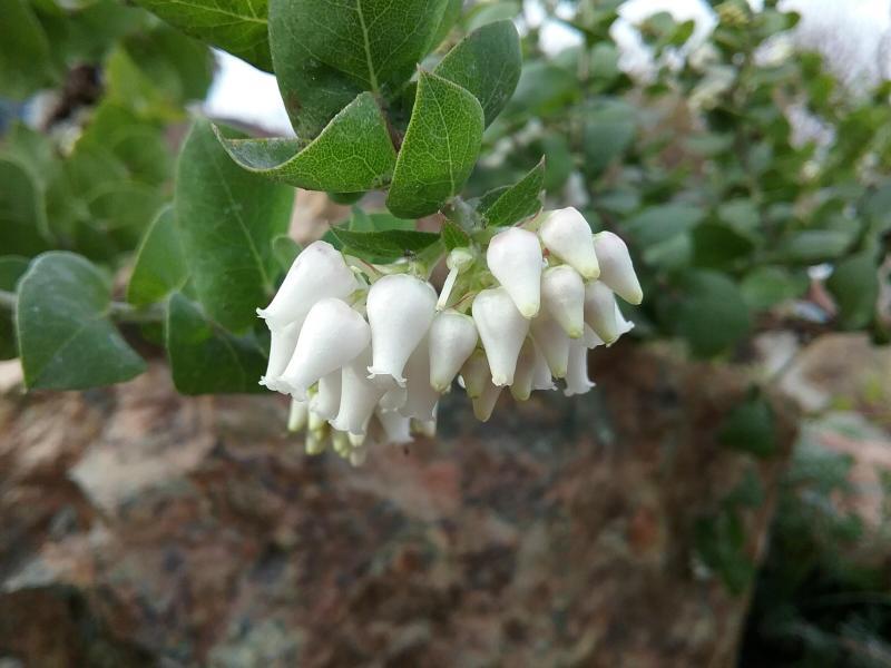 Arctostaphylos osoensis - Oso manzanita