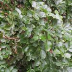 Berberis pinnata ssp. Insularis - Island barberry