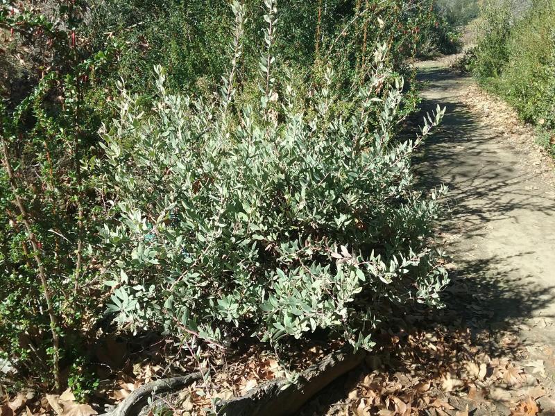 Arctostaphylos glandulosa ssp. crassifolia - Del Mar Manzanita