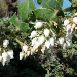 Arctostaphylos imbricata - San Bruno Mountain manzanita