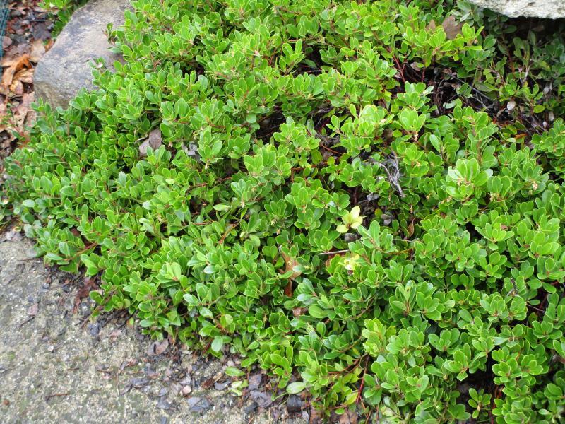 Arctostaphylos uva-ursi Green Supreme - 'Green Supreme' Bearberry