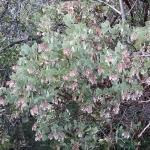 Arctostaphylos viscida - Whiteleaf manzanita