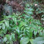 Berberis nervosa - Cascades Oregon Grape