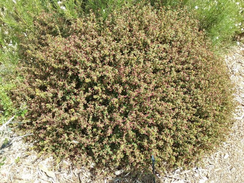 Acalypha californica - California Copperleaf