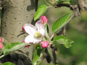 Die Königsblüte der Apfelblüte