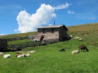Schafe am Rittner Horn
