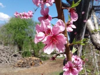 Pfirsichblüte Südtirol