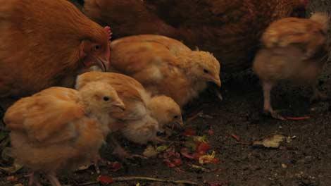 kyckling_30nov_4