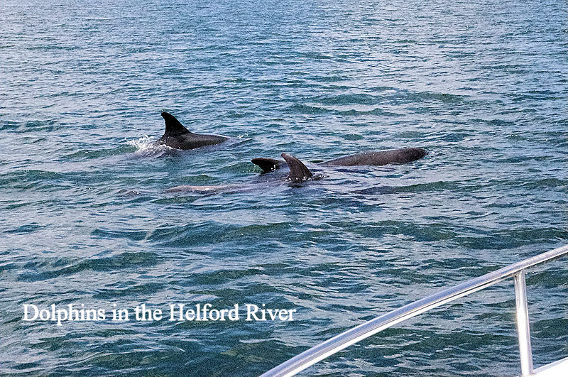 Dolphins Helford River