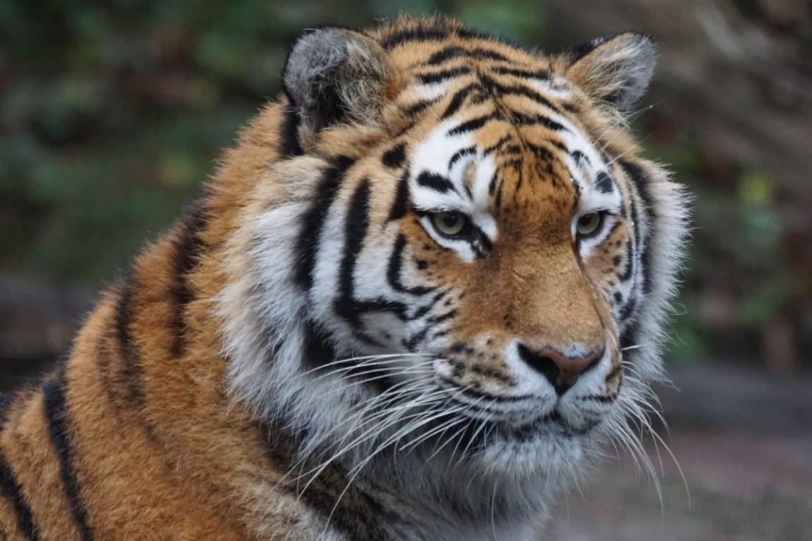 tiger-860230_1920