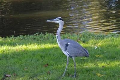 Échassier au Vondelpark