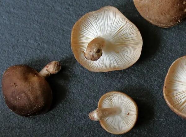 Shiitake ou lentins de chêne
