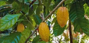cacaoyers et cabosses de São Tomé