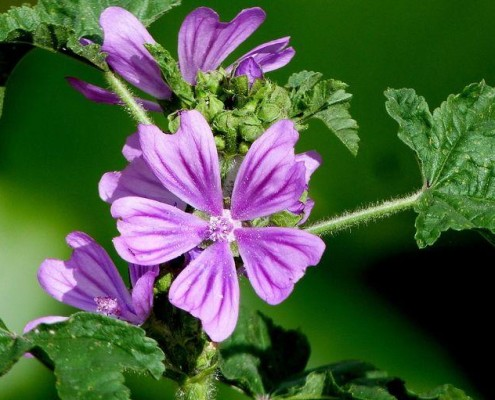 Lineaberger_group  Cuscino con Malva Saponetta
