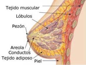 Cremas reafirmantes de senos