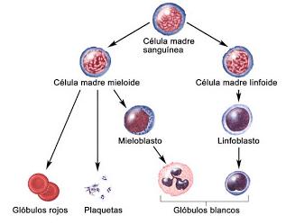 Células madre adultas