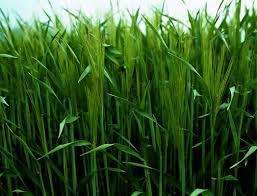 cebada verde