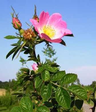 Escaramujo de la rosa mosqueta