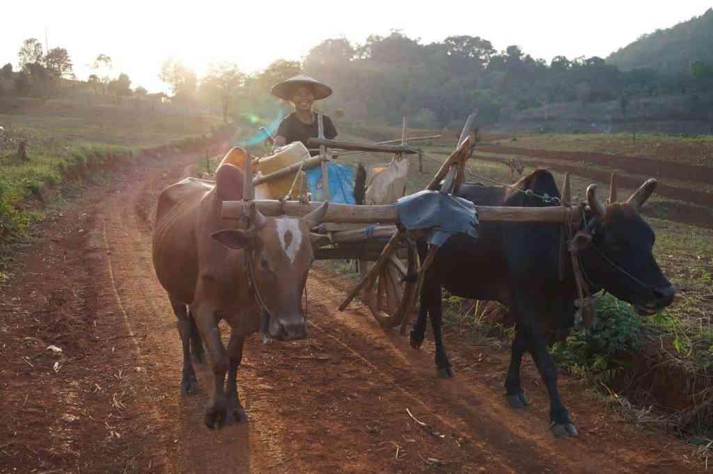 Boerin op een ossenkar in Myanmar