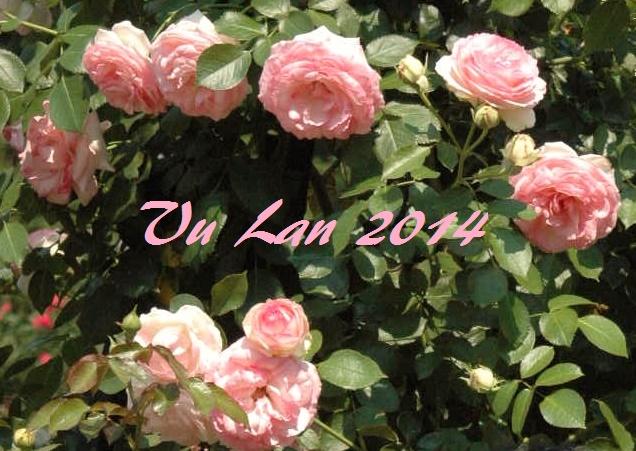 Vuon hong August, 2014 (8)