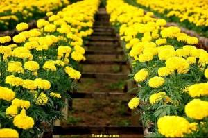 Hoa Vạn Thọ (1)