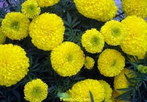Hoa Vạn Thọ (2)