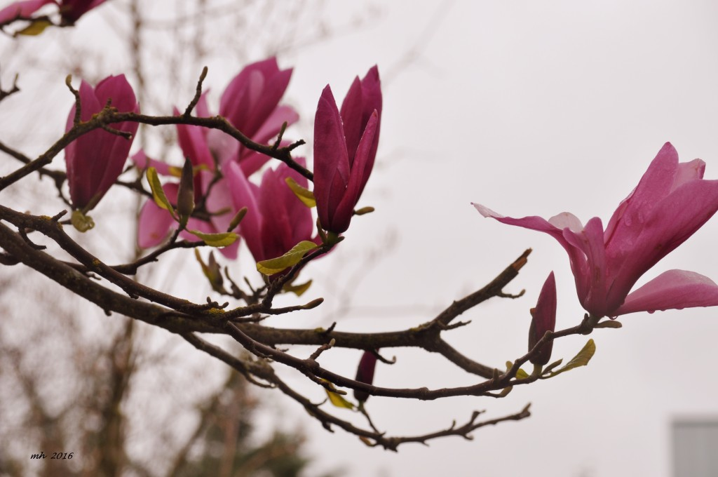Magnolia 2016 (14)