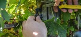 """Il vino di Sabato diventa """"Eroico"""" Educational in vigna per promuovere il prodotto"""