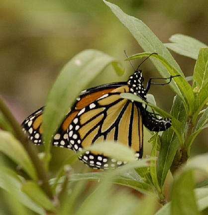 The Monarch Eggs And Caterpillars