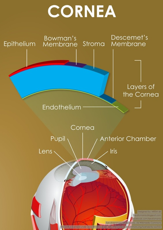 parts of the eye diagram and function mk4 stereo wiring cornea anatomy functions picture