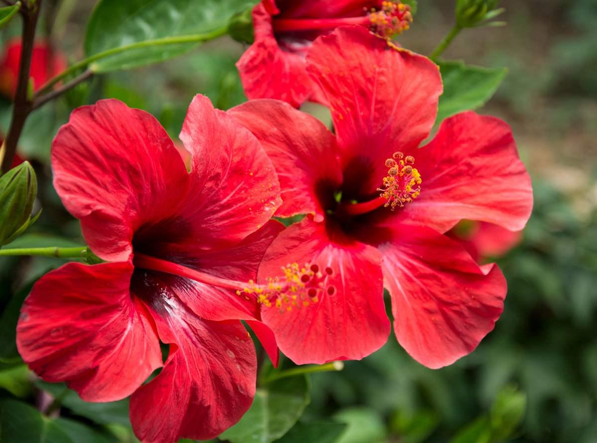 hibiscus santé