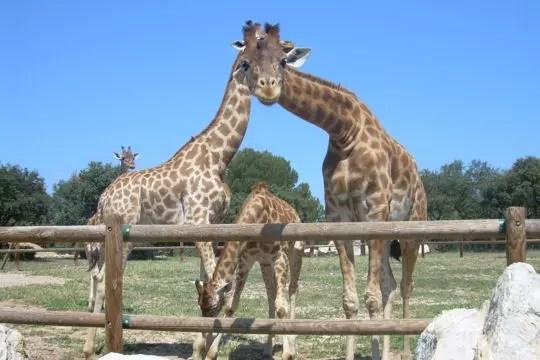 deux girafes pour le prix d'une