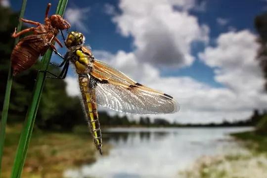 la libellule sort de sa nymphe